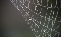 Web with Reflective Drop (sea turtle) Tags: autumn langley whidbeyisland whidbey island washingtonstate washington web spiderweb water drop drops waterdrop waterdrops droplet droplets waterdroplet waterdroplets macro closeup dew northwest pacificnorthwest