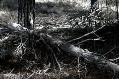 present & death (Testigo Indirecto) Tags: death life tree fallen caído árbol broken organic orgánico vida present time tiempo presente cycle ciclo mutation change mutación cambio