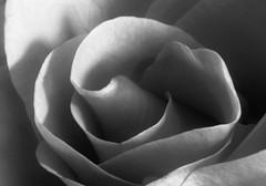 Orange Rose, using my Macro tubes. 😁📷😁 (LeanneHall3 :-)) Tags: blackandwhite rose petals rosepetal closeup closeupphotography macrotubes macro canon 1300d