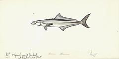 Anglų lietuvių žodynas. Žodis sergeant-fish reiškia seržantas-žuvis lietuviškai.