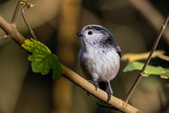 Long Tailed Tit (PINNACLE PHOTO) Tags: tit longtailedtit bird small fast feathered aegithaloscaudatus