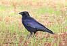 Carrion crow (badger2028) Tags: carrion crow corvus corone