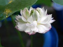 Nelumbo nucifera 'Fen Ling Long 13' Lotus Wahgarden 0133 (Klong15 Waterlily) Tags: lotus lotusflower flower pond lotusland landscape smalllotus chineselotus thailandlotus garden wahgarden