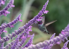 Hummer in Mexican sage (Victoria Morrow) Tags: droh dailyrayofhope