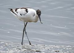 Alfaiate / Pied Avocet ( Recurvirostra avosetta) (Marina CRibeiro) Tags: portugal santairia praiadospescadores limicola charadriformes recurvirostridae alfaiate piedavocet