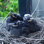 Nap time in the Currawong nest thumbnail
