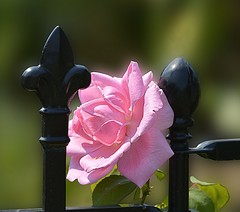 Wrought Iron & Rose (swong95765) Tags: rose fence iron pink bokeh pretty beauty wroughtiron