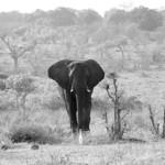 Elephant in the savannah thumbnail