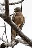 Road Side Hawk (arthurpolly) Tags: avian avianexcellence birds beautiful canon costarica 7dmk2 eos 100400is elements13 exotic flickrdiamond holiday nature natureselegantshots nationpark roadsidehawk hawk wildlife