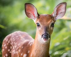 """A """"Curious Little Fellow"""" - white-tailed fawn in Cades Cove, Tennessee - Judy Royal Glenn Photography (Judy Royal Glenn) Tags: 2017 cadescove gsmp greatsmokynationalpark june animals deer fawn greatsmokymountainsnationalpark greatsmokymountains tennessee wildlife wildlifephotography judyroyalglennphotography judyroyalglenn nature naturephotography gsmnp babydeer fawns whitetaileddeer whitetailedfawn animal nationalparks usnationalparkservice"""