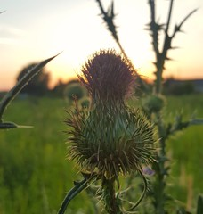 Cirsium vulgare (Iggy Y) Tags: cirsiumvulgare cirsium vulgare summer blossom flower purple color flowers green leaves nature field plant običniosjak osjak streličasti spearthistle bull thistle sunny sunset day light colorful