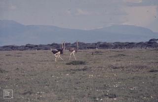 3 ostriches running. Male and Female. Ndutu