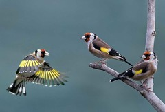 Two's company (bainebiker) Tags: goldfinch birds wildlife nature canonef100400mmf4556lis