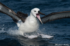 Yellow-nosed Albatross (Thalassarche carteri) (mikullashbee) Tags: albatross australia kiama yellownosedalbatross seabirds tubenose pacific thalassarchecarteri indianoceanyellownosedalbatross
