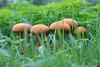 IMG_9172 (groeneschoenen1) Tags: goudhoed paddenstoel zeldzaam salland