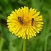 Syrphus ribesii & episyrphus balteatus (suekelly52) Tags: dandelion wildflower weed hoverflies marmalade syrphusribesii episyrphusbalteatus