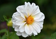 Weekend Flower (Eleanor (No multiple invites please)) Tags: whiteflower bud bushey uk nikond7200 105mmmacrolens october2017
