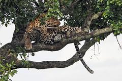 Masai Mara - Day 1 (lens buddy) Tags: masaimara kenya africa wild wildlife africanplains safari bigjourneyco animals africanleopard leopard leopardintree sleepingleopard restingleopard cat bigcat hunter leopardonbranch
