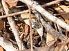 Nyssus sp. (tessab101) Tags: spider arachnid arachnids arthropods kuringgai wildflower gardens north sydney nsw australia nyssus species white spotted swift