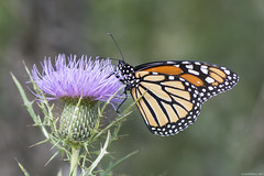 Butterfly 2017-143 (michaelramsdell1967) Tags: field beauty nature macro animals bokeh beautiful closeup orange butterfly animal pretty photo green insect black insects wildlife picture thistle zen wild bug butterflies meadow bugs wilderness monarch upclose monarchs