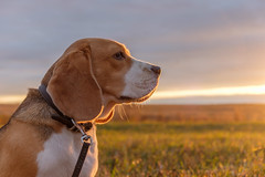 Beagle dog in the bright rays of the autumn sunset (androsoff) Tags: beagle dog animal pet autumn sunset rays locking light bright rich mystical night october nature landscape field forest walk leash collar portrait pretty cute hunter purebred canine grass horizon clouds sun white black brown tricolor face feet tail ears eyes nose sky trees shadow