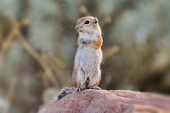 White- tailed antelope squirrel (Monkeystyle3000) Tags: ground squirrel white tailed antelope