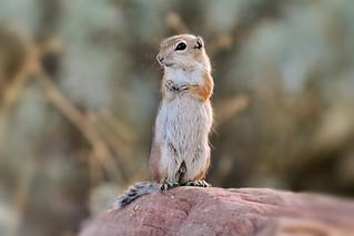 White- tailed antelope squirrel
