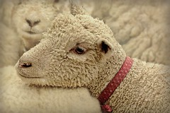 Little Lost Sheep (Christina's World-) Tags: animals nature sheep furry fur textures countyfair ie emotions white ruby10