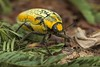 9J5A4814 Jewel beetle Julodis candida. Dubai desert. (Priscilla van Andel HAPPY NEW YEAR!!) Tags: jewelbeetle matingjewelbeetles julodis julodiscandida