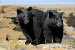 Double Trouble (PamsWildImages) Tags: black bear babies cubs twins nature wildlife canada bc vancouver island