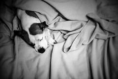 41/52 oh little dreamer (Jutta Bauer) Tags: blackwhite lowkey highcontrast negativespace bed night dream dog edgar 52weeksforedgar 52weeksfordogs