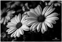 OCTOBER 2017  NGM_5794_2342-222 (Nick and Karen Munroe) Tags: flowers flowering flower flowertown floral bloom blooms blooming chinguacousy chinguacousypark conservation conservatory arbouritum botanical bramptonbotanicalgardens botanicalgardens garden gardens beauty brampton beautiful blackandwhite bw blackwhite bandw ontario ontariocanada canada nikon nickmunroe nickandkarenmunroe nature nickandkaren munroedesignsphotography munroedesigns munroephotography munroe karenick23 karenick karenandnickmunroe karenmunroe karenandnick karen plants plant macro micronikon closeup upclose bokeh nikon2470f28 2470 2470f28