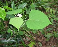 mallotus.mollissimus.sapling (dave.kimble) Tags: mallotus mallotusmollissimus euphorbiaceae greenkamala woollymallotus softkamala arfp qrfp cyrfp tropicalarf lowlandarf uplandarf marginalarfp leaf