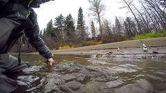 Wild steelhead on the Bulkley River, caught on the last day of my trip. (_Kickstand) Tags: britishcolumbia catchandrelease flyfishing