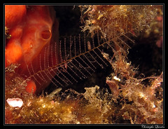 Caprellidae on Aglaophenia sp. (cquintin) Tags: cnidaria hydrozoa leptothecata conica aglaopheniidae aglaophenia arthropoda crustacea malacostraca amphipoda caprellidae