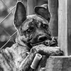 Guinness21Oct201766-Edit.jpg (fredstrobel) Tags: dogs pawsatanta phototype atlanta blackandwhite usa animals ga pets places pawsdogs decatur georgia unitedstates us
