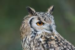 Indian eagle-owl - Bubo bengalensis - puchacz indyjski (tomaszberlin) Tags: animal bird raptor captive exhibition birdofprey nikon d500 bokeh portrait