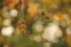 no. (SimonaPolp) Tags: seeds bokeh fall foliage nature macronature light october autumn