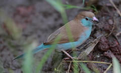 Red-cheeked cordon-bleu (Female)