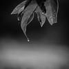 One of those days (Nicholas Erwin) Tags: nature raindrop morningdew morning dew waterdroplet droplet leaf naturephotography moody bokeh shallowdepthoffield depthoffield dof blur mono monochrome bw blackandwhite square squareformat nikon d610 70200f4vr waterbury vermont vt unitedstatesofamerica usa america highiso simple simplicity minimalism minimalist fav10 fav25 fav50
