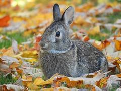 Enjoying an autumn day (NaturewithMar) Tags: bunny autumn macro closeup rabbit leaves leaf wildlife october wisconsin nikoncoolpix b700 ngc 7dwf wednesday ruby10