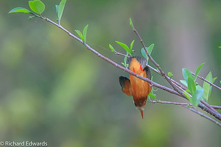 Nose-dive  Common Kingfisher -* Explore