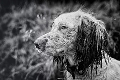 Rupert (Missy Jussy) Tags: englishspringer springerspaniel spaniel male dog puppy pet animal mansbestfriend portrait dogportrait animalportrait mono monochrome blackwhite bw blackandwhite outdoor outside dogwalk canon canon5dmarkll 50mm ef50mmf18ll canon50mm fantastic50mm littledoglaughednoiret