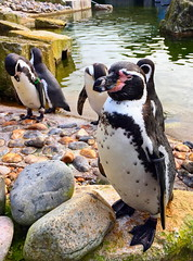 Marwell Zoo (Roy Richard Llowarch) Tags: marwell marwellzoo zoo zoos penguin penguins hampshire hampshireengland england marwellwildlife marwellwildlifepark wildlife wildlifepark park parks bird birds september 2017 travel travelling outdoor walks walking countrywalks countryside royllowarch royrichardllowarch llowarch cute animal animals wildanimals nature naturalbeauty pingu