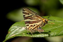 Cigaritis natalensis (zimbart) Tags: coutada12 mozambique africa cheringoma nhagocamp fauna arthropoda insects lepidoptera rhopalocera butterflies lycaenidae cigaritis cigaritisnatalensis