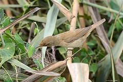(Enllasez - Enric LLaó) Tags: aves aus bird ocells pájaros rietvell deltadelebre deltadelebro delta 2016