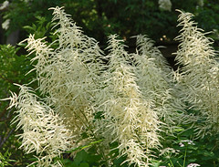 Plume bush in bloom (sunsju) Tags: nature macro textures bloom blossom white