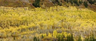 Colorado Aspen Forest