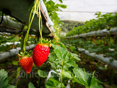 Strawberry farm (whitworth images) Tags: lines hothouse rows shelves southeastasia cameronhighlands brinchang red malaysia racks agriculture greenhouse hydroponic elevated farm fruit hothouses asia green horticulture pahang strawberry
