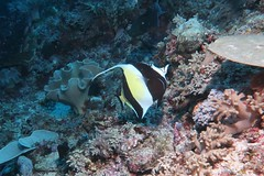 Moorish Idol (sarah.handebeaux) Tags: raja ampat diving indonesia indo pacific reef coral moorish idol finding nemo black yellow stripe